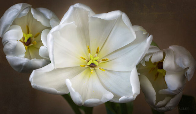 Photo of White Tulips by Melissa Bagley