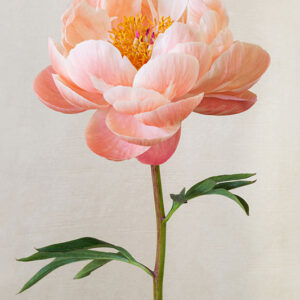 Peachy Pink Peony Poster