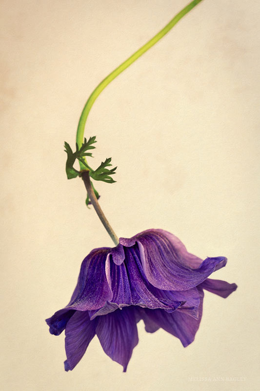 Photo of a Single Purple Anemone by Melissa Ann Bagley