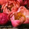 Closeup Details of Photo of Pink Springtime Peonies by Melissa Ann Bagley